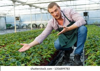 Farmer checking quality of Poinsettia pulcherrima seedlings in greenhouse farm