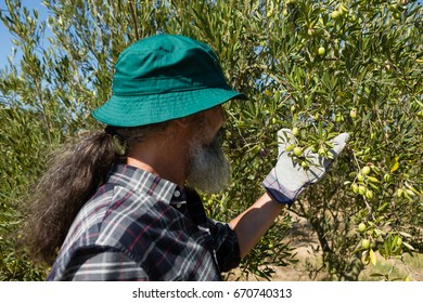 Farmer checking a tree of olives in farm