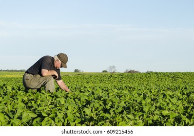 Farmer checks his soy bean field for pest or damages. Room for text in sky or across green crop