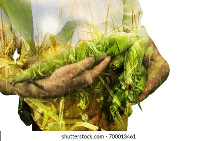 Farmer concept image. Double exposure of farmer holding corn and sundown on the plantation landscape. Agriculture Concept.