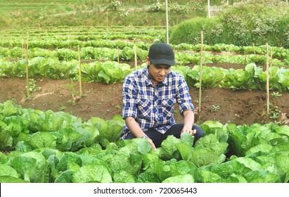 farmer control on cabbage field