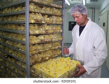 Farmer controls baby chicken in incubator