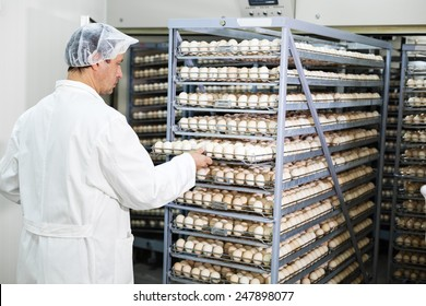 Farmer controls chicken eggs in incubator.Shallow doff