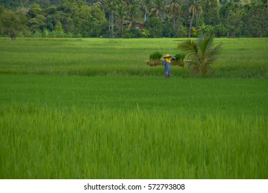 Farmer counterbalance rice young plant in green farm in front mountain, central of Thailand