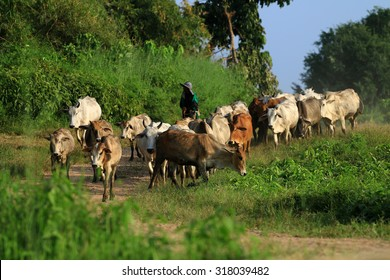 Farmer and cows