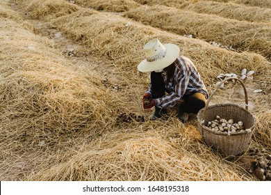Farmer cutting out soil from straw mushrooms in farm.