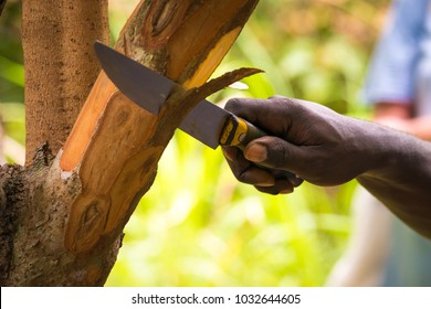 Farmer cutting pieces of a cinnamon tree for tasting purpose during a Spice Tour on Zanzibar, Tanzania.