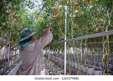 farmer cutting plant in close farming tomato grow in control agriculture to develop race of tomato GMO for uncrese productive of food.
