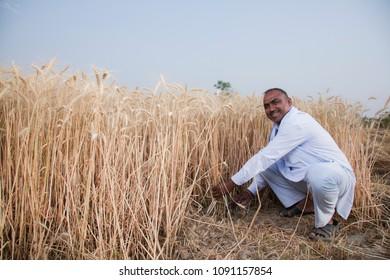 Farmer Cutting wheat with sickle