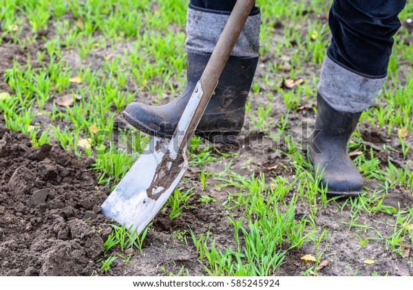 Farmer digging in the garden with a spade. Preparing soil for planting in spring. Gardening.