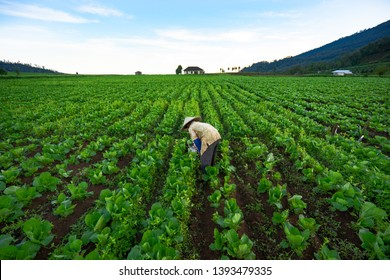 Farmer digging in the morning at their vegetable farming land. Effort to produce fresh & healthy food.