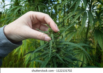 Farmer examination industrial hemp. Selective focus