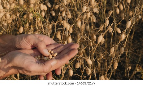 A farmer examines ripe chickpea beans in his hands while standing in a chickpea field. Close-up video