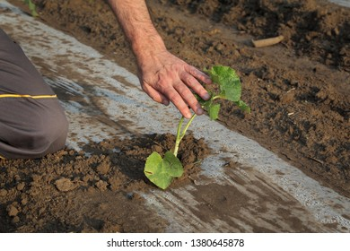 Farmer examining melon plant in field, plants are under plastic protective stripes, closeup of hand and plant