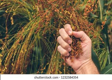 Farmer examining ripe proso millet (Panicum miliaceum), close up of hand