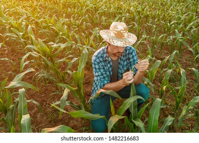 Farmer examining sorghum plants in field. Handsome adult agronomist is inspecting development of crops on cultivated plantation.