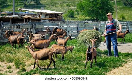 Farmer feeds goats with the hay on farm