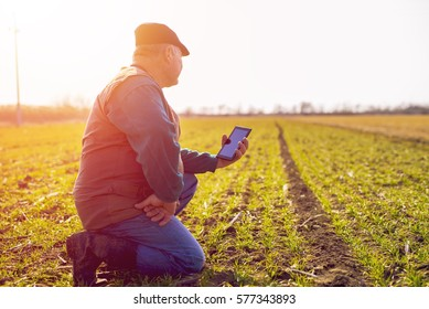 Farmer in the field, controlling the growth and development of wheat.