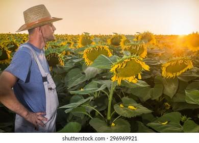 Farmer in a field of sunflowers