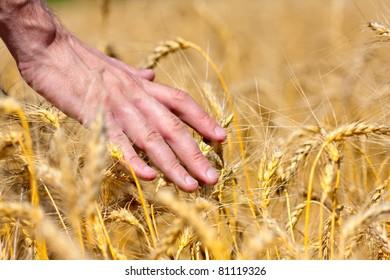 Farmer in field touching his wheat ears