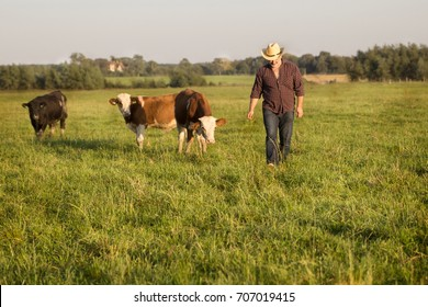 the farmer in the field with the young bulls