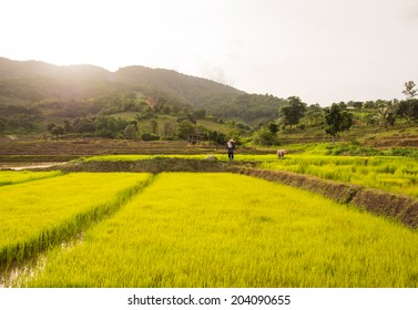 Farmer in the field,rice seedling transplanting in Thailand