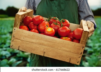 farmer with fresh gathered tomatoes