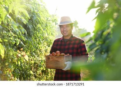 Farmer with Fresh Tomatoes in Asia Farm, Asian Farmer
