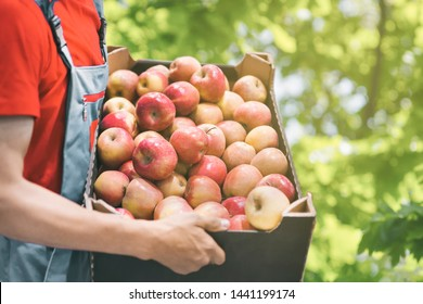 Farmer with freshly harvested apples in cardboard box. Agriculture and gardening concept.