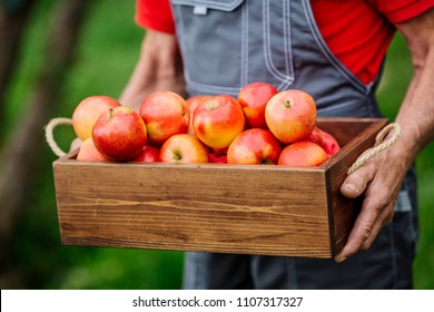 Farmer with freshly harvested apples in wooden box. Agriculture and gardening concept.