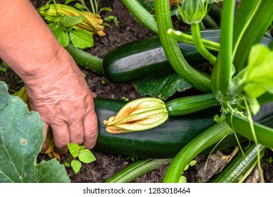 Farmer in the garden harvesting zucchini, fresh farm vegetable, harvest in organic farm