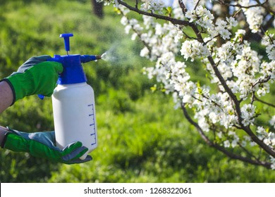 Farmer with gardening glove spraying a blooming fruit tree against plant diseases and pests. Use spray bottle with pesticides in the garden.