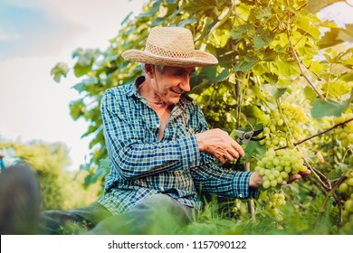 Farmer gathering crop of grapes on ecological farm. Senior man cutting grapes with pruner. Gardening, farming concept