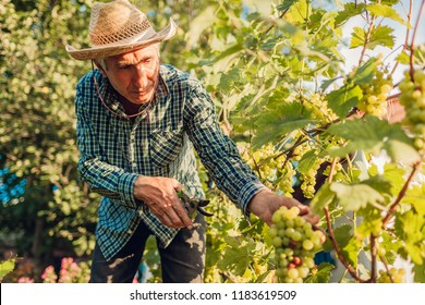 Farmer gathering crop of grapes on ecological farm. Senior man cutting grapes with pruner