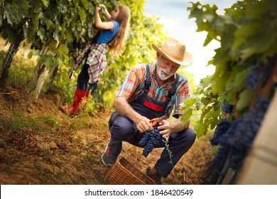Farmer gathering crop of grapes on ecological farm. Senior man harvesting red grapes with grandchild in back