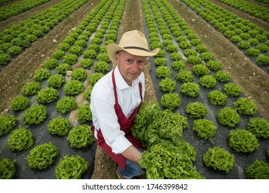 Farmer gathering fresh lettuce on farm field