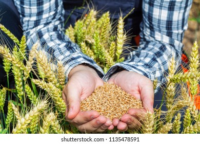 Farmer with grains in hands on wheat field