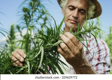 Farmer growing hemp and checking plants growth, agriculture and environment concept