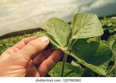 Farmer growing organic soya bean on large plantation