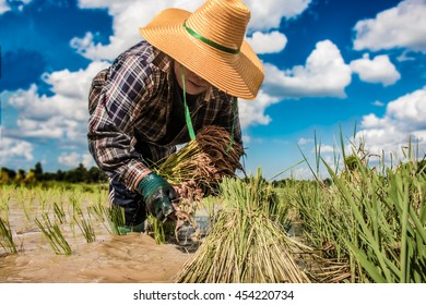 farmer growing rice