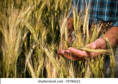 Farmer hand having care of his ripe wheat before the harvest