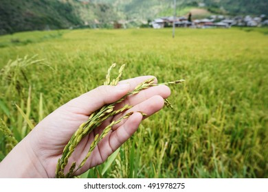 A farmer hand holding green rice grain in front of blurry field and village of Chimi Lhakhang.