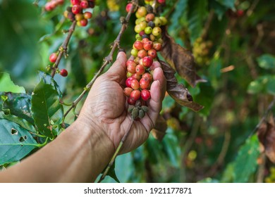 A farmer hand holding organic arabica coffee with farmer harvest in farm.harvesting robusta and coffee berries by agriculturist hands, worker Harvest  coffee berries on its branch, harvest concept.