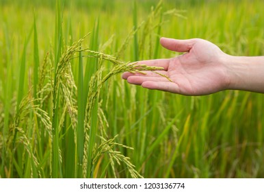 Farmer hand holding a young rice in the rural area field of thailand