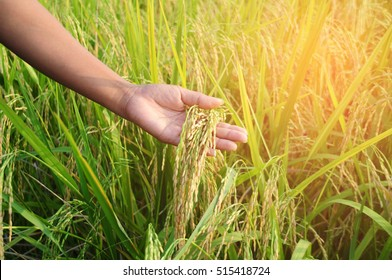 farmer hand with rice field. soft focus