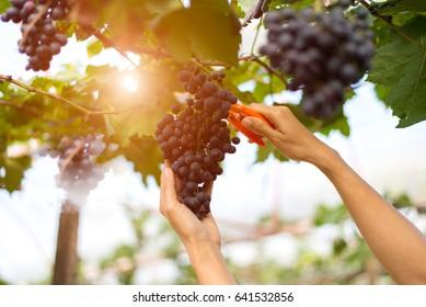 Farmer hand woman picking grape during wine harvest in the sunrise morning