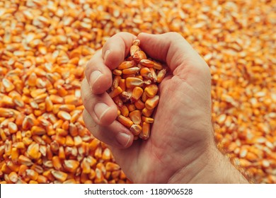 Farmer handful of harvested corn kernels, concept of abundance and great yield after successful harvest
