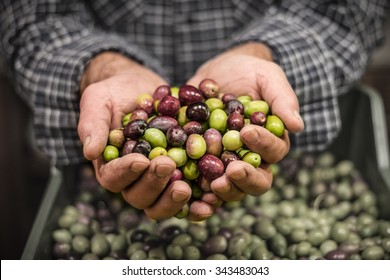 Farmer hands holding a handful of fresh harvested olives. Selective focus on the olives.