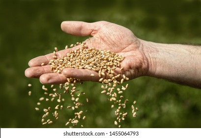 farmer hands seeding wheat and maize