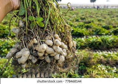 farmer harvest peanut on agriculture plantation.